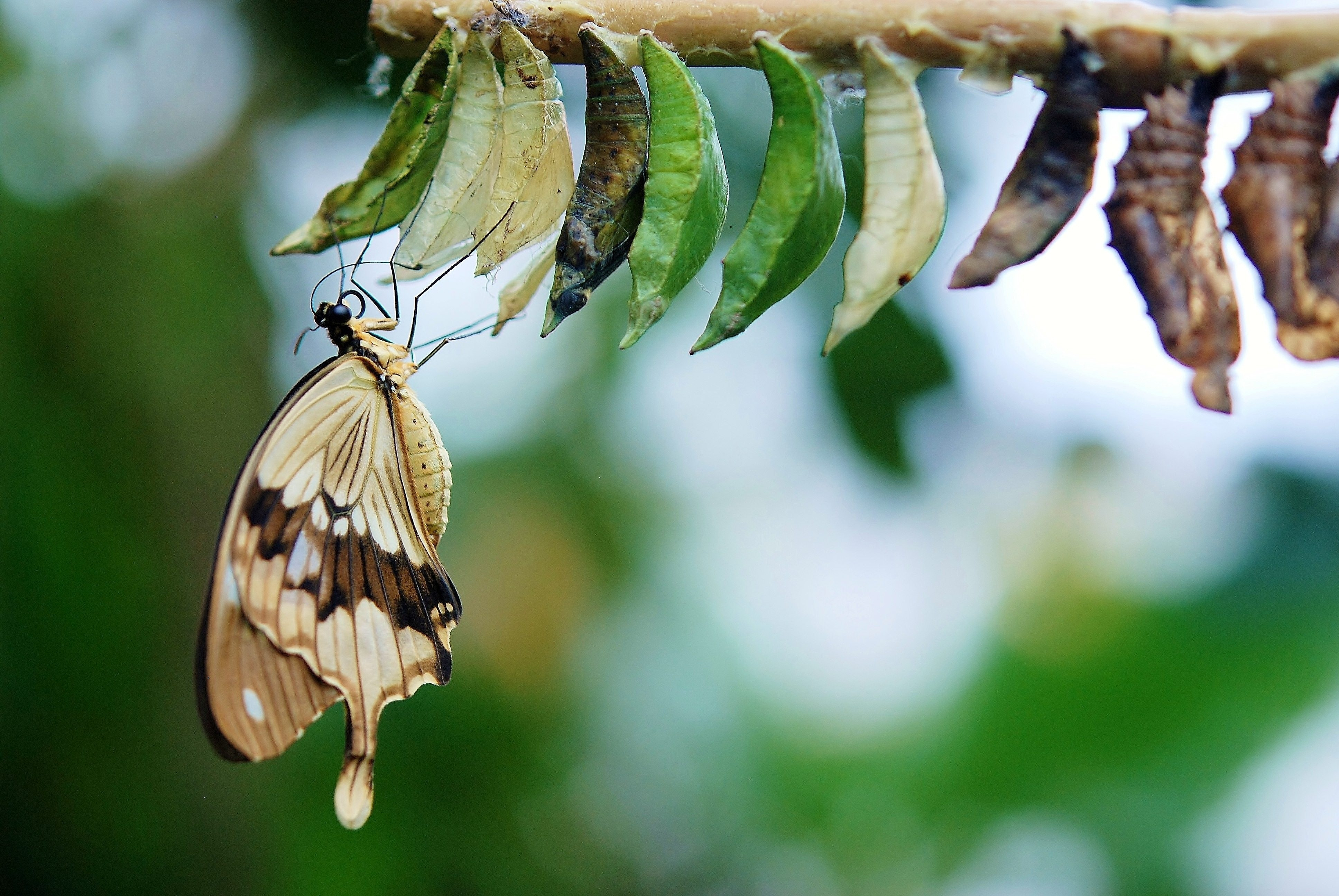 brown-and-white-swallowtail-butterfly-under-white-green-and-63643